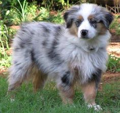 miniature Australian shepherd- saw one of these today. cutest thing ever, and perfect size :)