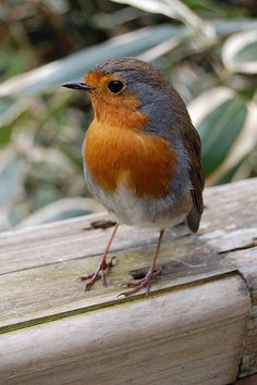 """British cousin of the American Robin. According to my British friend, Anita, they are """"feisty wee beasties"""" ;D"""