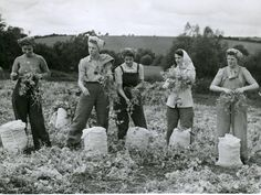 Land Army girls picking peas at a farm near Wolverhampton in July 1947