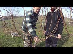 Stříhání vinné révy - YouTube Sauvignon Blanc, Gardening For Beginners, Fruit Trees, Garden Plants, Grape Vines, Flora, Rv, Youtube, Apollo