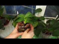 Мои орхидеи с уценки и реанимашки.Орхидея от Ани Румянцевой (часть1) - YouTube