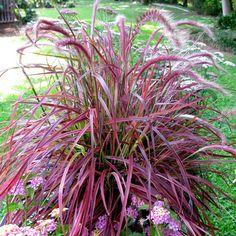 Pennisetum 'Fireworks' (Variegated purple fountain grass)