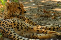 A cheetah is cooling down with a nap under a tree at the Vienna Zoo during the hottest summer in 234 years in Austria