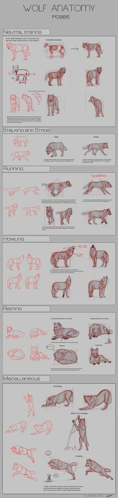 Wolf Anatomy - Part 2 by *Autlaw on deviantART || CHARACTER DESIGN REFERENCES | #dope Use rep code: MEMBER at Karmaloop.com for a discount - http://loop-promo-codes.com: