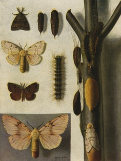 gypsy moth brought from Europe in 1869 to Springfield, MA, invasive species, USDA & CDFA restricted insect