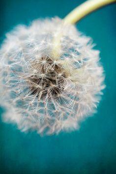 """End of Summer SALE 30% OFF  Dandelion Seeds Close-up Teal Fine Detail Home Decor Fine Art """"Dandelion on Teal"""" 8x12"""