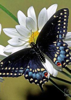 Eastern Black Swallowtail - by Millard H. Sharp