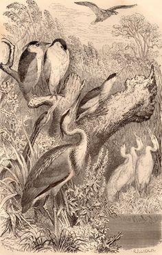 Herons Birds 1869 Antique Print Black Night Heron by Craftissimo, €14.95
