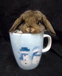 mini lop bunny rabbit Christmas babies!
