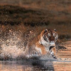 Tiger attack!   Photo by © Darian  #Destination_wild