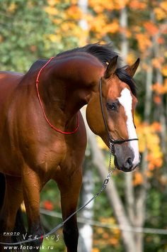 Голландская верховая - фотографии - equestrian.ru