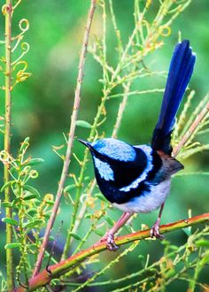 A pretty splendid fairy-wren on a branch. From 26 of the Most Colorful Birds on the Planet (And Where to Find Them) - By Just Birding! Funny Birds, Cute Birds, Pretty Birds, Beautiful Birds, Exotic Birds, Colorful Birds, Bird Pictures, Photos Of Birds, Bird On Branch