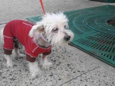 SUPER URGENT 10/16/16 Brooklyn Center CHUCKY – A1093656 MALE, WHITE, MALTESE MIX, 11 yrs OWNER SUR – EVALUATE, HOLD RELEASED Reason PERS PROB Intake condition EXAM REQ Intake Date 10/16/2016, From NY 11220, DueOut Date ,
