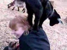 When goats attack - goat climbing | Geiten vallen aan! | L'attaque des chèvres