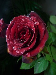 ..... A rose is sometimes so much more ...