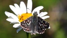 Suomen Perhoset Tummakirjosiipi » Suomen Perhoset Butterflies, Garden, Nature, Animals, Beautiful, Animales, Naturaleza, Animaux, Gardens