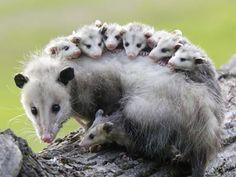 baby wearing, possum style