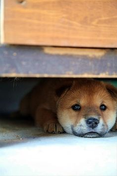 Japanese Mame Shiba Inu dog