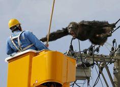 Affenschaukel  (15.4.16)        Ein aus dem Zoo entlaufener Schimpanse hat die...