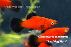 Red Wag Platy - Xiphophorus maculatus
