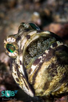 marine biology | Tumblr Daddy jawfish