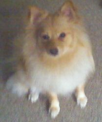 Little Girl New England is an adoptable German Spitz Dog in Providence, RI. Adoption Donation: $499    Age:   2 years    Weight: 19 lbs     Little Girl is a two year old German Spitz Klien. Her owners...