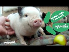 ▶ Buying a Miniature Pig? Learn more at Petpiggies - YouTube