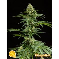 Cheesy Auto Feminised Seeds - http://www.cannabis-seeds-store.co.uk/auto-flowering-seeds/philosopher-seeds/cheesy-auto-feminised-seeds/prod_6307.html