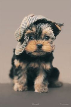 Yorkie puppy...I can't handle the cuteness!
