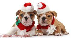 Christmas bulldogs.