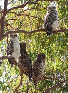 Powerful Owl (Ninox strenua) family. Photo by Richard Jackson.
