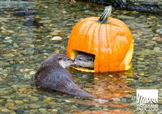 Otters and Pumpkins - perfect for Halloween! How cute is this? Animals And Pets, Baby Animals, Funny Animals, Cute Animals, Animals Planet, My Spirit Animal, My Animal, Animal Pictures, Cute Pictures