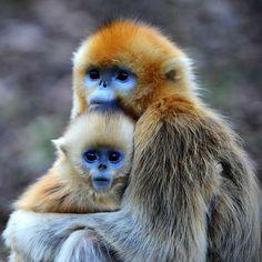 El Rhinopithecus Roxellana es un primate pelirrojo que vive en la región de Sichuan en China. Podría pasar de incógnito entre otros monos, salvo porque su piel es azul. #azul #rhinopithecusroxellana #mono http://www.pandabuzz.com/es/animal-del-dia/rhinopithecus-roxellana-mono-piel-azul