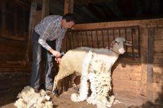 Buchegger - sheep shearing