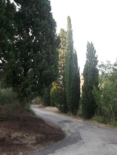 the road with Cypressus trees. Villa Rica #Sicily