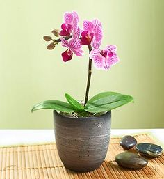 "Mini Phalaenopsis Orchid  Phalaenopsis orchids are often called ""Moth orchids,"" because the shapes of their blooms resemble moths in flight. Get spirits soaring with our exotic and graceful mini Phalaenopsis orchid plant in regal shades of purple, paired with a charming ceramic planter. Send a set of six in our Gift Pack, which make truly original centerpieces, party decorations, or even extraordinary wedding favors."