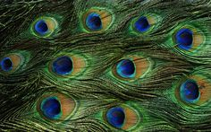GeoCentral - Natural Peacock Feathers of Fun - Pack of 10