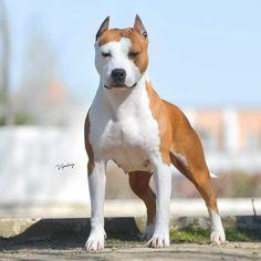Amstaff Terrier, Pitbull Terrier, Stafford Terrier, American Staffordshire Terrier, Cute Pitbulls, Animals And Pets, Cute Animals, American Pitbull, Dog Games