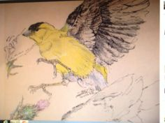 AMERICAN GOLD FINCH / pencil crayon and pen and ink.