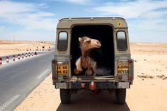 Yes, that is a camel in my Land Rover, but I am also happy to see you. Land Rover Defender 110, Defender 90, Landrover Defender, Defender Camper, Motorcycle Camping, Camping Gear, Range Rover Off Road, Offroad, Hors Route