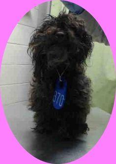 ❥★❥RESCUED❥★❥ ~ Animal ID #A443653  I am a Female, Black & Brown Miniature Poodle - mix. The shelter does not know how old I am. I have been at the shelter since September 24, 2015. Harris County Public Health and Environmental Services  Telephone ‒ (281) 999-3191 612 Canino Road  Houston, TX https://www.facebook.com/OPCA.Shelter.Network.Alliance/photos/pb.481296865284684.-2207520000.1443224614./899796636768036/?type=3&theater