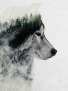 Wolf / forest