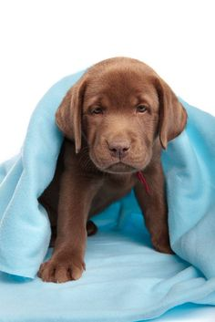 """Here I come...ready or not!""...  Click on this image to find more pinworthy #Lab #puppy pictures"
