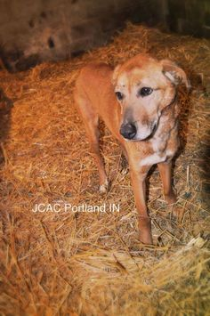★TO BE DESTROYED 12/31/14★ Rocky Breed:Shepherd / Labrador Retriever / Mixed (s (mix breed) Age: Senior Gender: Male Shelter Information: Jay County Animal Control 2209 E 100 S Portland, IN Shelter dog ID: Rocky Contacts: Phone: 260-726-4365 Name: Kathy Fields email: jaycountyanimalcontrol@yahoo.com Read more at http://www.dogsindanger.com/dog.jsp?did=1412000659321#FgDU6DohEQUyBfWv.99