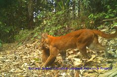 A mother Asian golden cat holding her cub, who was caught on camera trap in the Kerinci Seblat National Park in Sumatra. Photo by: Sumatran Tiger Research Team. Animal Intelligence, Keystone Species, Cats 101, Rare Cats, Wildlife Conservation, Cheetah, Cubs, National Parks, Creatures