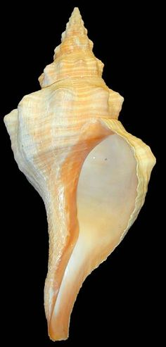 Horse Conch - the Florida State Shell. Does your state have a shell?
