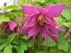 Clematis alpina 'Imke'(pbr)| van Vliet New Plants
