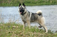 Norwegian Elkhound  [---]  http://www.dogbreedslist.info/all-dog-breeds/Norwegian-Elkhound.html#.Wtps_IjwZhE [---] https://www.ckc.ca/en/Choosing-a-Dog/Choosing-a-Breed/Hounds/Norwegian-Elkhound