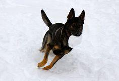 Nero- German Shepherd