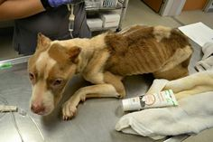 Justice For Peanut! Severely Malnourished And Starved Pit Bull Dumped On The Streets To Perish! | PetitionHub.org